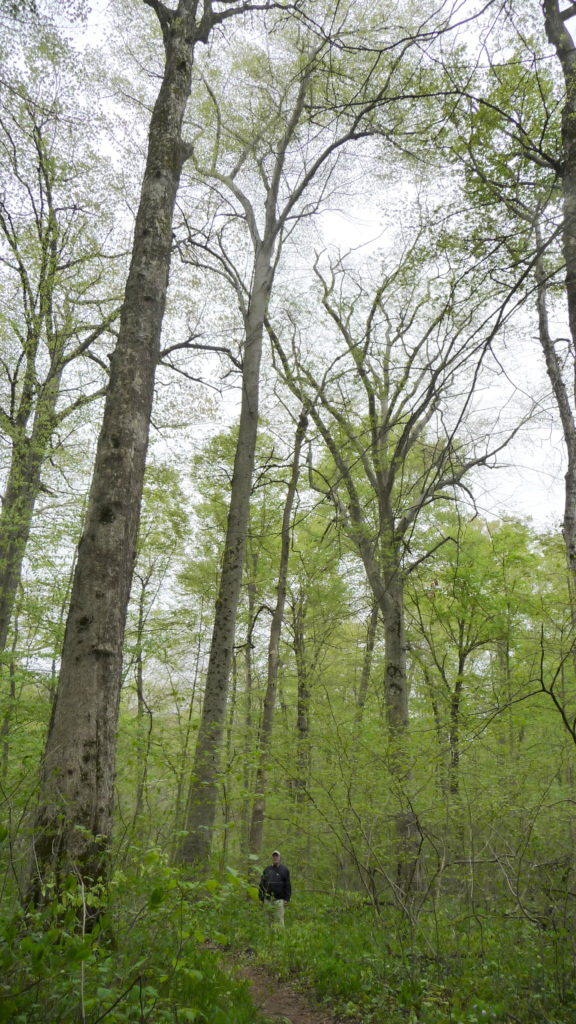 Tall Beech trees at Warren Woods State Park New Buffalo Michigan