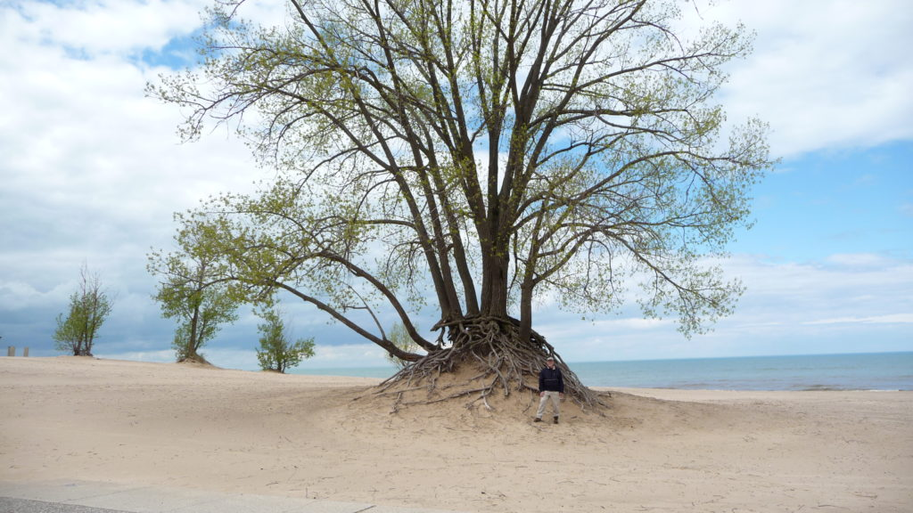 A large tree on the beach of at Warren Dunes State Park Michigan